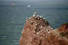 Północni gannets, Helgoland, Niemcy Fotografia Royalty Free