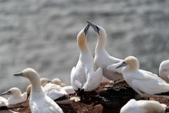 Północni gannets, Helgoland, Niemcy Fotografia Stock