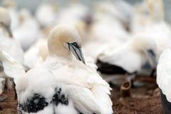 Północni gannets, Helgoland, Niemcy Obrazy Royalty Free