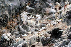 Północny gannet Obraz Stock