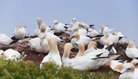Północny gannet Obrazy Royalty Free