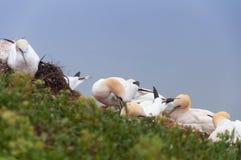 Północny gannet Zdjęcia Royalty Free
