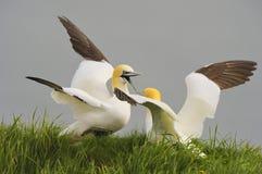 Północny Gannets bój Fotografia Royalty Free