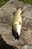 północny jackfish pike Zdjęcia Stock