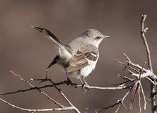 północny mockingbird Zdjęcia Stock