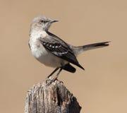 północny mockingbird Obrazy Stock