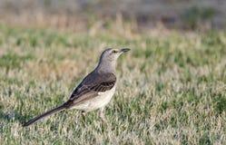 Północny Mockingbird, Ateny Gruzja usa Obraz Stock