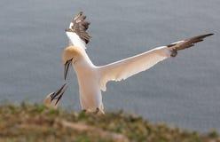 północny pary gannet Zdjęcia Royalty Free