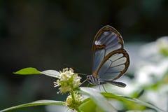 Półprzezroczysty motyli Pseudoscada erruca Obrazy Royalty Free