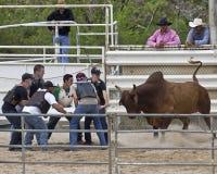 Póker de Bull Foto de archivo libre de regalías