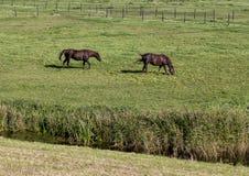 Pólder con dos caballos marrones y follaje verde enorme, Países Bajos imagen de archivo