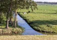 Pólder con las vacas, las ovejas y el follaje verde enorme, Países Bajos fotos de archivo libres de regalías