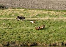 Pólder con un burro y cuatro cabras de cuernos en la hierba verde por un canal, Países Bajos fotografía de archivo libre de regalías