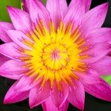 Pólen da flor de lótus, WaterLily, flor de Lotus, pólen amarelo dos lótus Fotos de Stock Royalty Free
