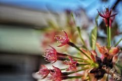 Pólen das flores de cerejeira cor-de-rosa imagem de stock royalty free