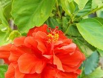 Pólen do hibiscus do close up Imagem de Stock Royalty Free