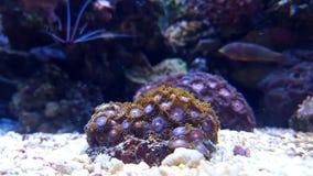 Pólipos coloridos dos zoanthids Fotos de Stock