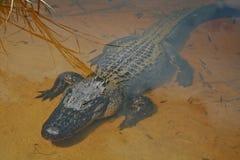Pólnocna Karolina aligatora zakończenie pod płytką wodą. Fotografia Royalty Free