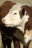 Pôle Hereford Images stock