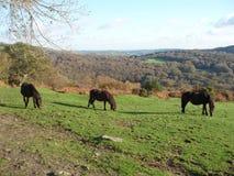 Pônei de Dartmoor Imagem de Stock