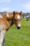 Pônei de Exmoor Fotografia de Stock