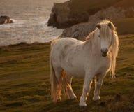 Pônei de galês selvagem Foto de Stock Royalty Free