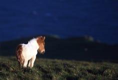 Pônei de Shetland fotos de stock royalty free