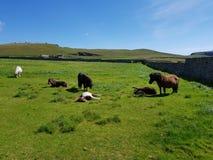 Pônei de Shetland Fotografia de Stock
