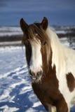 Pônei do inverno Fotografia de Stock Royalty Free