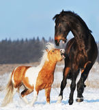 Pônei e cavalo no inverno Fotos de Stock Royalty Free