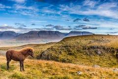 Pônei islandês nas montanhas foto de stock royalty free
