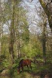 Pônei na floresta nova Fotografia de Stock Royalty Free