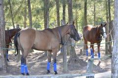 Pôneis de polo Imagens de Stock Royalty Free