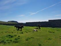 Pôneis de Shetland na frente da cabeça de Sumburgh Fotografia de Stock