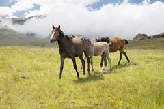Pôneis do Basuto nas montanhas de Lesoto Imagens de Stock