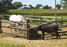 Pôneis em uma exploração agrícola de Amish fotografia de stock royalty free