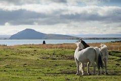 Pôneis na paisagem de Islândia fotografia de stock royalty free