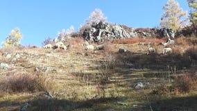 Põe ovelhas em sofrimento no outono comendo erva video estoque