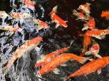 Pöl för ‹för garden†för ‹för in†för ‹för swim†för ‹för Fish†‹underwater†royaltyfri fotografi
