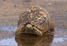 Pöl för vatten för leopardsköldpadda near Royaltyfri Foto