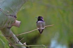 Pösig purpurfärgad kolibri Palo Verde 1 Fotografering för Bildbyråer
