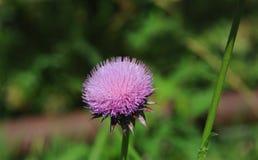 Pösig purpurfärgad tistel- och gräsplanbakgrund Royaltyfri Foto