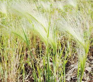 pösigt gräs Royaltyfria Foton