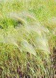 pösigt gräs Royaltyfri Bild