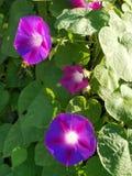 púrpura Fotos de archivo