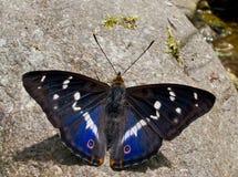 Púrpura 4 de Amur de la mariposa Foto de archivo