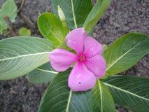 Púrpura de flores Foto de archivo libre de regalías