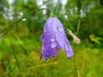 Púrpura de la flor de Bell con descensos del rocío de la mañana Imagen de archivo