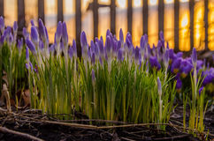 púrpura de la flor de la primavera floración en el jardín las azafranes Imágenes de archivo libres de regalías