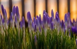 púrpura de la flor de la primavera floración en el jardín las azafranes Imagen de archivo libre de regalías